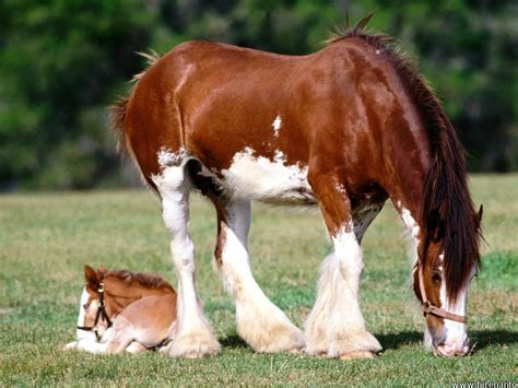 clydesdale horse association of canada chac iequine
