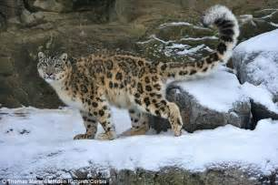 leopard s blood a leopard novel snow leopards don t specially adapted blood cells to
