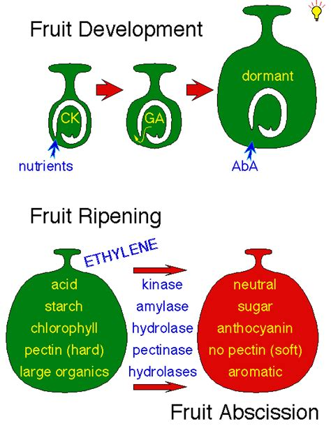 Modified Atmosphere Packaging Diagram by Fruit Growth And Ripening
