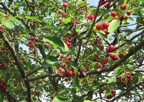 wildflower wednesday serviceberries