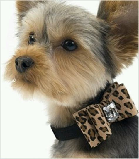 hair accessories for yorkie poos 906 best for mistletoe images on pinterest yorkies