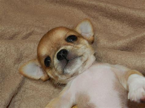 alimentazione chihuahua cucciolo cuccioli chihuahua in vendita