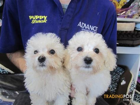 maltichon puppies maltese x bichon frise maltichon puppies at puppy shack brisbane for sale in