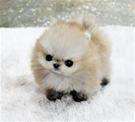 where pomeranians come from 25 best ideas about teacup breeds on teacup dogs cutest small dogs