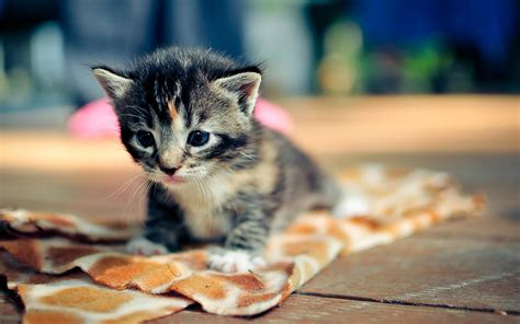 wallpaper kucing lucu hd  image collections