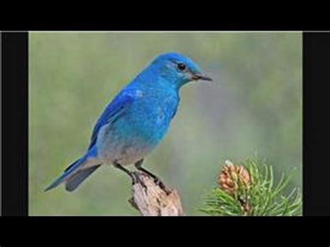 bluebirds attracting mountain bluebirds youtube