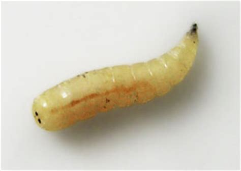 fliegenlarve in der wohnung what do fly maggots look like colonial pest