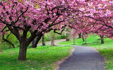 cherry tree background flower wallpapers wallpaper cave