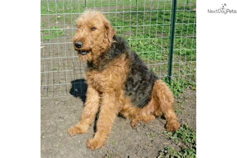 airedale puppies for sale near me airedale terrier puppy for sale near 567a23d6 c0e1