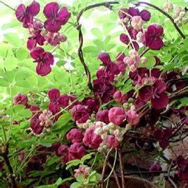 Plante Grimpante Qui Pousse Vite by Les 25 Meilleures Id 233 Es Concernant Plante Grimpante