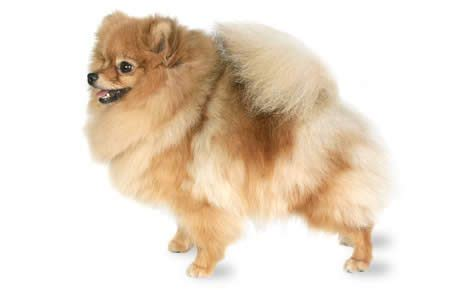 temperament of pomeranian pomeranian breed information pictures characteristics facts dogtime
