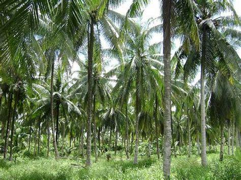 Pasar Minyak Kelapa peluang pasar produk dari kelapa indonesia analisa dak