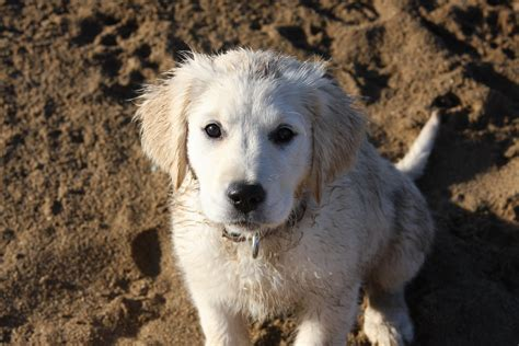 los angeles golden retriever golden retriever puppies for sale los angeles merry photo