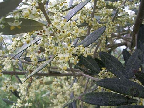 olive fiore di bach olive fiori di bach fiori di bach i fiori di bach olive