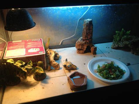 bearded dragon basking light basking with mouth open bearded dragon org