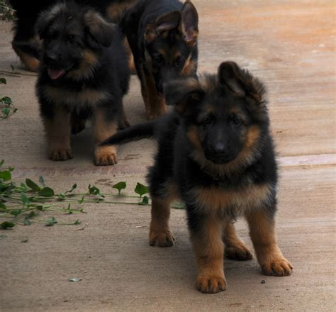 german shepherd puppies for sale california german shepherd german shepherd puppies for sale puppies
