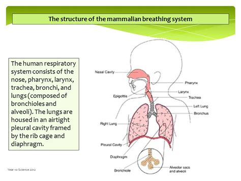 diagram of mammalian diagram of mammalian respiratory system gallery how to