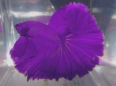 Ikan Cupang Hias Indukan Halfmoon Koi Fullblock half moon violet betta fish 2 live tropical fish