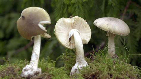 Pilze Im Garten Giftig Für Kinder by Pilze Sammeln Giftige Pilze Und Essbare Pilze Bestimmen