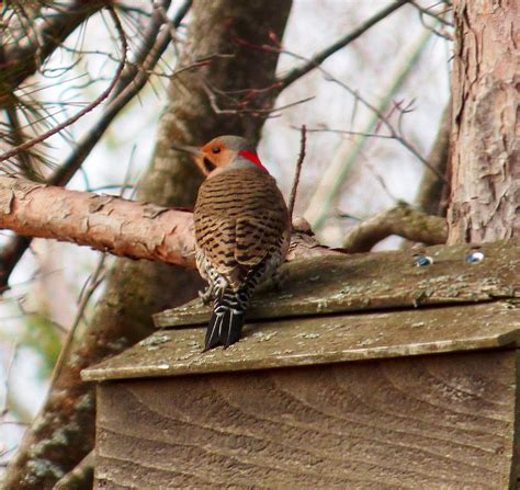 northern flicker birdwatching