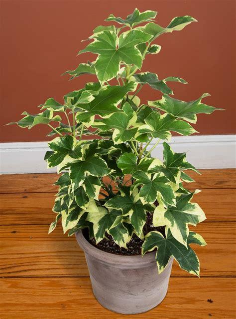 variegated tree ivy fatshedera angyo star