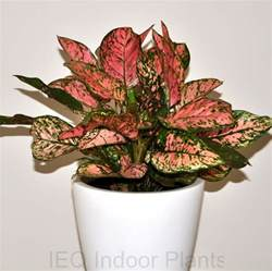 the best indoor plants best indoor plants brisbane zanzibar gem low light plants