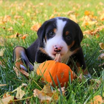 swissy puppies seneca greater swiss mountain dogs home