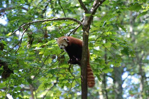 in tree panda in tree by mshorselover on deviantart