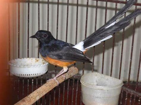 Murai Batu Muda Hutan burung murai tips burung murai batu muda hutan stres