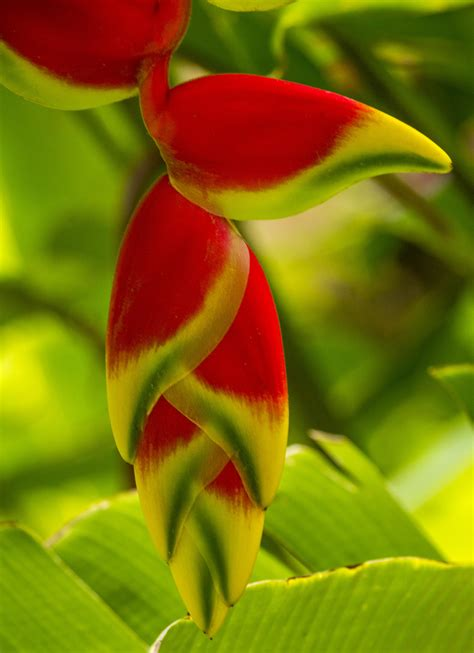 Colorful Tropical Plants - heliconia rprtphoto