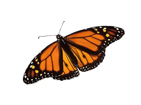 monarch butterfly frames png butterfly