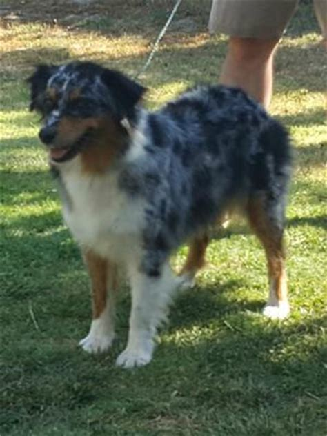 adopted dog peeing in house the australian shepherd lovers site blog