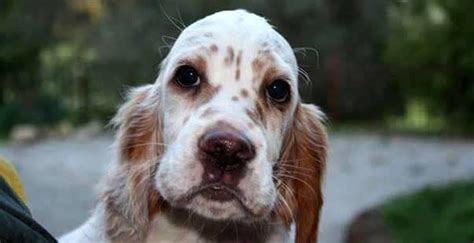 alimentazione setter inglese furto di cani a ravina spariti cuccioli e adulti di razza