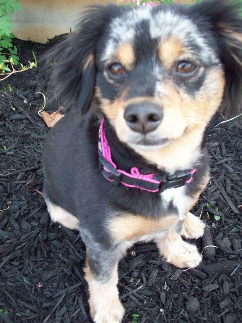 pomeranian weenie mix dameranian dachshund pomeranian mix future pets pomeranian mix and