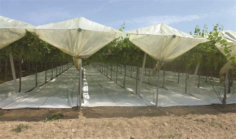uva da tavola coltivazione uva da tavola le tecniche colturali per produrre di pi 249 e