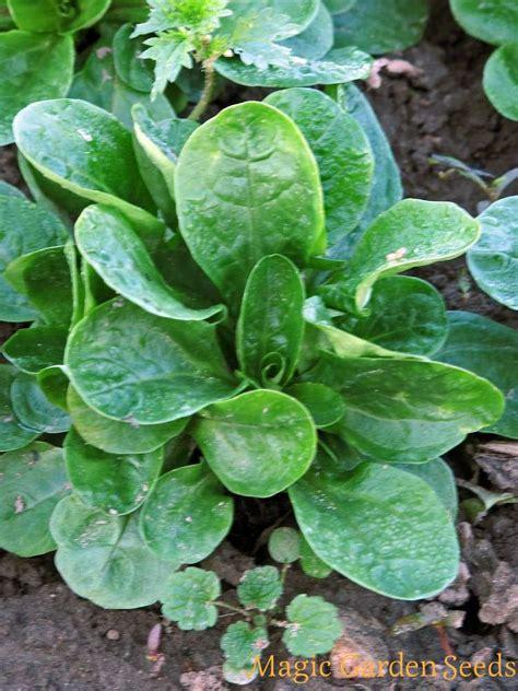 Pflanzen Immergrün Winterhart 1011 by Rapunzelsalat Feldsalat Dunkelgr 252 Ner Vollherziger