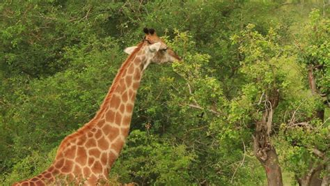 the giraffe that ate veld stock footage video shutterstock