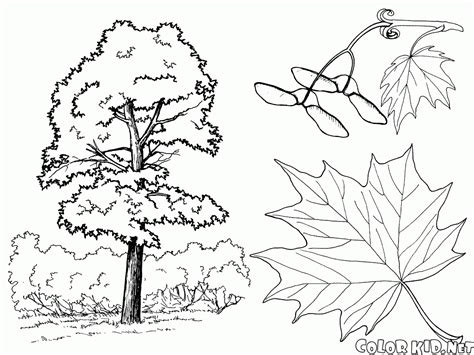 coloring page of maple tree coloring page oak tree