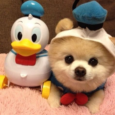 pomeranian costume pomeranian in donald duck costume dogs trouble