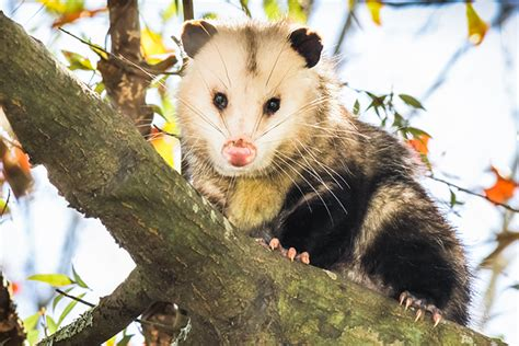 How To Get Rid Of Possums In Your Backyard by How To Get Rid Of Possums Remove These Pests In Your