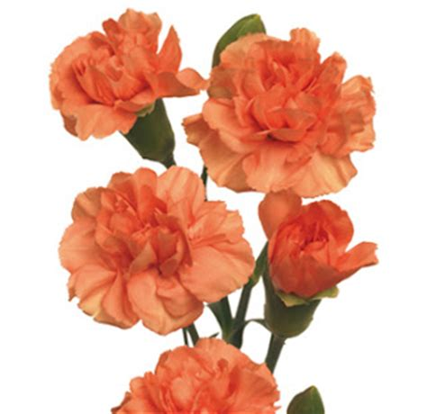 facts about carnations canada floral delivery blog carnation facts trivia