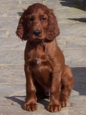 irish setter definition 1000 ideas about irish setter dogs on pinterest irish