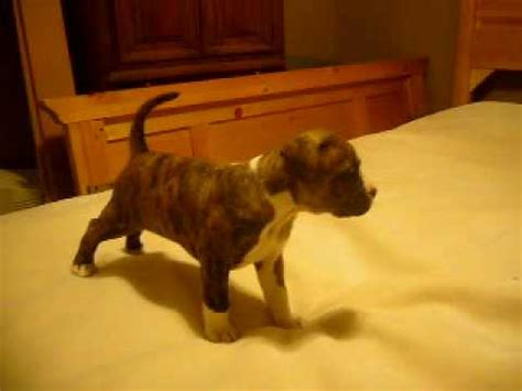 brindle pitbull puppy brindle facts information pictures encyclopedia articles about brindle