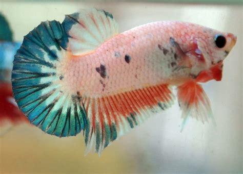 Ikan Hias Dan Pakan Ikan Orderan Indra Gunawan cupang plakat budidaya cupang hias