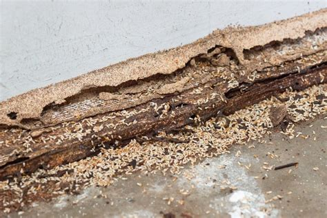 differences  carpenter ants  termites pestwiki
