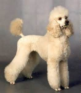 standard poodle hair styles best 25 poodle grooming ideas on pinterest poodle cuts