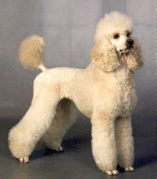 different poodle haircuts pics for gt standard poodle haircuts