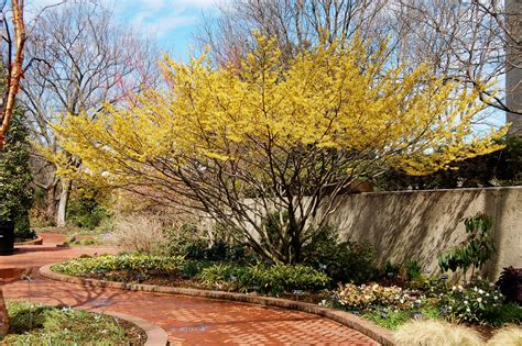 witch hazel hamamelis x intermedia arnold s promise see our article on how to plant