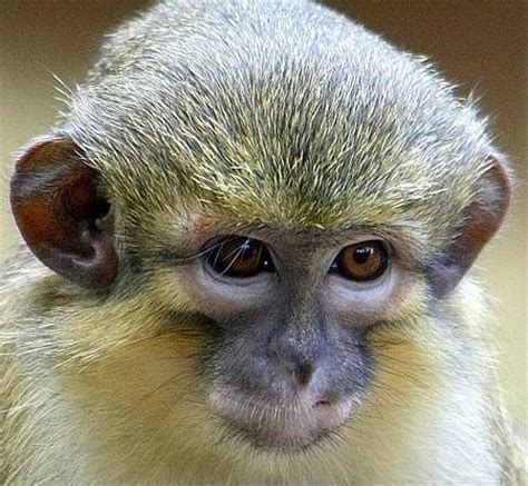 talapoin small, yellow, central african monkey | animal