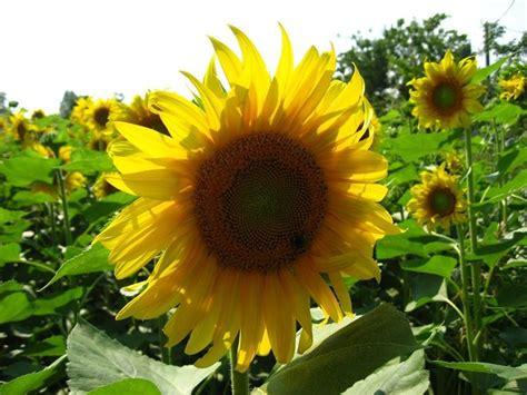 girasole fiore significato significato girasole linguaggio dei fiori fiori di